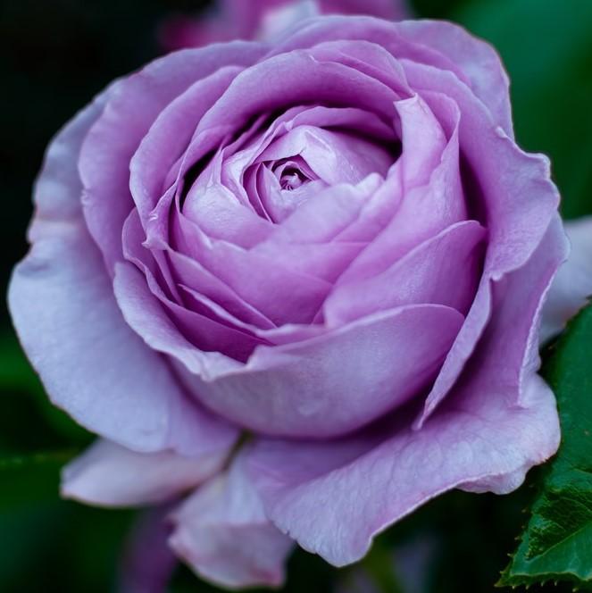 青い薔薇一輪